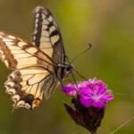 Paź królowej (Papilio machaon)_5995
