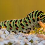 Paź królowej (Papilio machaon)_7810