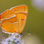 Pazik brzozowiec (Thecla betulae)_9871