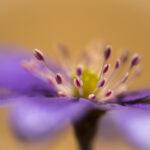 Przylaszczka pospolita (Hepatica nobilis)_3189