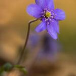 Przylaszczka pospolita (Hepatica nobilis)_3204