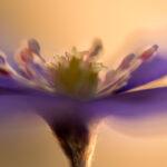 Przylaszczka pospolita (Hepatica nobilis)_3246