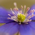 Przylaszczka pospolita (Hepatica nobilis)_3273