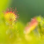 Rosiczka okrągłolistna (Drosera rotundifolia)_6377