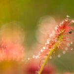 Rosiczka okrągłolistna (Drosera rotundifolia)_6406