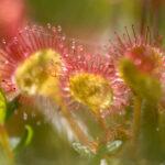 Rosiczka okrągłolistna (Drosera rotundifolia)_6455