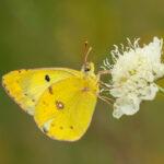 Szlaczkoń siarecznik (Colias hyale)_9774