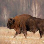 Żubr (Bison bonasus) 0919