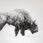 Żubr (Bison bonasus) 1528