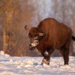 Żubr (Bison bonasus) 2629