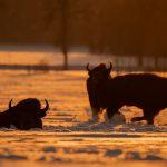 Żubr (Bison bonasus) 2889