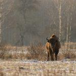 Żubr(Bison bonasus) 4714