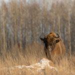 Żubr(Bison bonasus) 4964