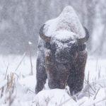 Żubr(Bison bonasus) 5976