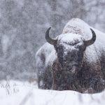 Żubr(Bison bonasus) 6140