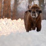 Żubr(Bison bonasus) 8478