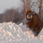 Żubr(Bison bonasus) 8529
